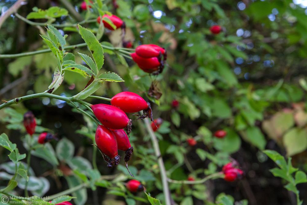 Rose hips in a Fraser Valley garden