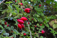 Rose hips in a Fraser Valley garden