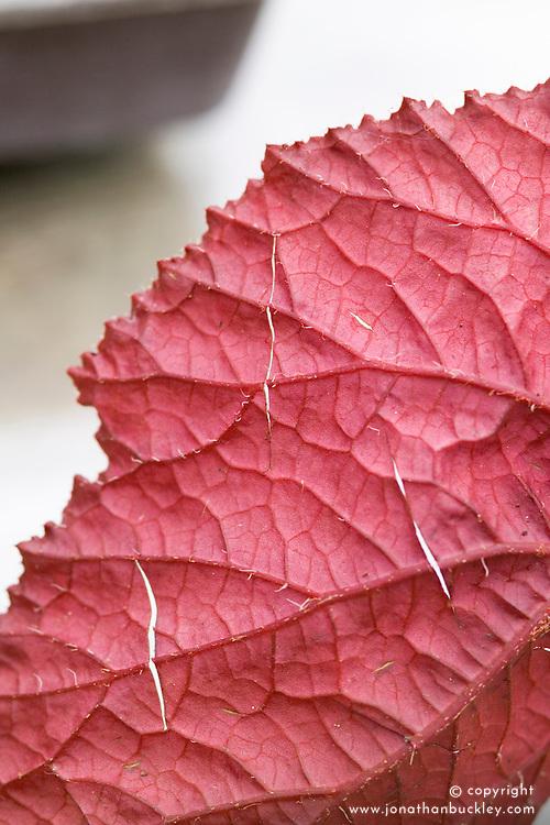 Taking leaf cuttings from a begonia using the 'Leaf Slashing' method<br /> Detail of slits