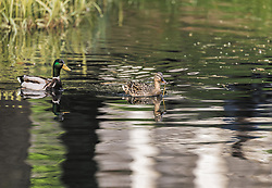 THEMENBILD - ein Stockenten-Paar schwimmt in Ufernähe eines Sees, aufgenommen am 21. Mai 2019, Lienz, Österreich // a pair of mallards swims near the shore of a lake on 2019/05/21, Lienz, Austria. EXPA Pictures © 2019, PhotoCredit: EXPA/ Stefanie Oberhauser