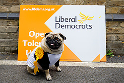 © Licensed to London News Pictures. 31/05/2017. London, UK. A dog is seen with a Liberal Democrat sign during a new poster launch in Kennington, London, attacking Prime Minister Theresa May's decision to scrap free school lunches and replace them breakfasts cost at just 7p each. Photo credit: Tolga Akmen/LNP