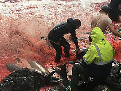 Horrific footage shows the seas turn red with blood after more than 200 dolphins were slaughtered by locals in the Faroe Islands as part of an ancient Norse tradition. Graphic video shows the highly-intelligent animals writhing and squirming in blood as fisherman plunge metal hooks into their blow holes before severing their spines. The hunt, known locally as Grindadrap, is a tradition dating back to the 13th Century which sees local fishermen slaughter Atlantic white-side dolphins — as seen here — and long-finned pilot whales after driving the mammals towards shallow waters by closing in on them using a large semicircle of boats. Conservation group Sea Shepherd UK, which captured the stomach-churning video and images, says that according to Faroese reports 210 Atlantic white-side dolphins were killed in the most recent hunt — the 11th of the year — which took place on the coast of Hvalvik on September 11. Gory images depict the ocean as a bloodbath with scores of dolphins lying dead on the shoreline with gaping wounds across their heads. Weeks previously 180 whales were killed on the island as part of the same ritual. According to Sea Shepherd UK, which captured the footage as part of its 'Operation Bloody Fjords' campaign, the Faroese have killed more than 62,000 pilot whales and dolphins over the past 50 years. It also claims that in 2017 alone, a total 1,691 dolphins and whales were killed in 24 grindadráp hunts in the Faroe Islands and the running total for 2018 is 561 pilot whales and 255 Atlantic white-sided dolphins. Animal activist group PETA says the sea animals endure great suffering and pain: 'Metal hooks are driven into the stranded mammals' blowholes before their spines are cut. 'The animals slowly bleed to death. Whole families are slaughtered, and some whales swim around in their family members' blood for hours. 'Whales and dolphins are highly intelligent creatures and feel pain and fear every bit as much as we do.' But authorities