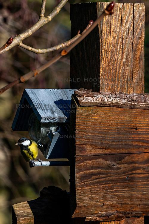 23-01-2019 NED: Birdwatch around your garden, Maarssen<br /> Koolmees (Parus major)