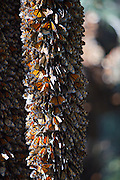Monarch Butterflies mass on a tree trunk in the Cerro Chincua mountain at the Monarch Butterfly Biosphere Reserve in Cerro Chincua central Mexico in Michoacan State. Each year hundreds of millions Monarch butterflies mass migrate from the U.S. and Canada to Oyamel fir forests in the volcanic highlands of central Mexico. North American monarchs are the only butterflies that make such a massive journey—up to 3,000 miles (4,828 kilometers).