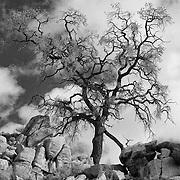Desert Oak Large Rock Hill - Infrared Black & White