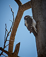 Hairy Woodpecker. Rocky Mountain National Park, Colorado. Image taken with a Nikon D200 camera and 18-200 mm lens.