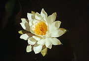 Fragrant white waterlily, Nymphaeae odorata, northern end of Sturgeon Lake, Quetico Provincial Park, Ontario, Canada.