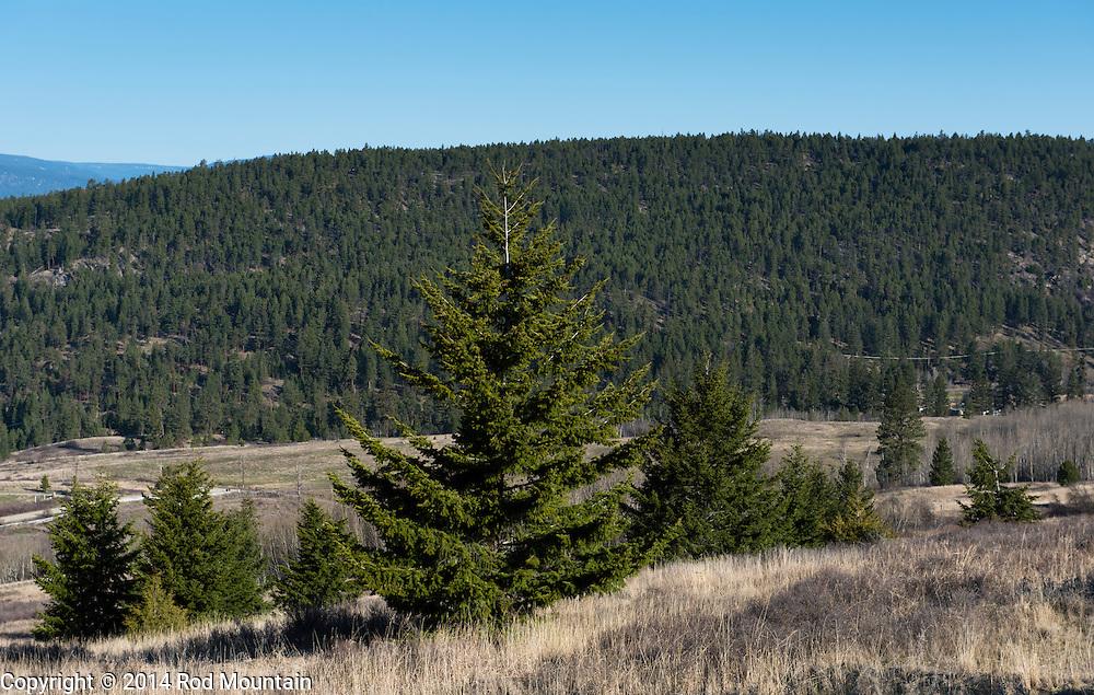 Arid hillside grasses and trees near Okanagan Lake.