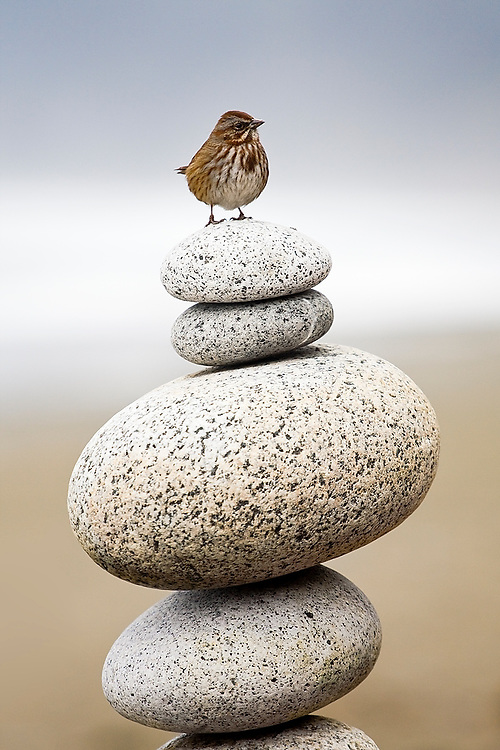A small bird stands on a cairn, a pile of round stones, at Shi Shi Beach, Olympic National Park, Washington.