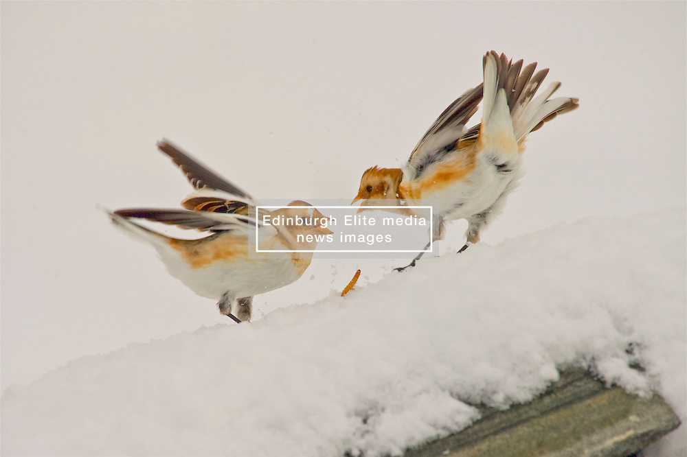Snow Buntings squabble for food in the Cairngorms as Storm Doris hits the UK. 24 Feb 2017 (c) Brian Anderson | Edinburgh Elite media