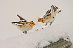 Snow Buntings squabble for food in the Cairngorms as Storm Doris hits the UK. 24 Feb 2017 (c) Brian Anderson   Edinburgh Elite media