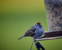 Chipping Sparrow. Image taken with a Nikon D5 camera and 600 mm f/4 VR lens (ISO 1600, 600 mm, f/5.6, 1/500 sec)