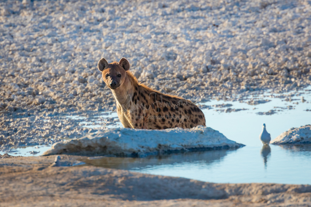 The spotted hyena (Crocuta crocuta), also known as the laughing hyena, is a species of hyena, currently classed as the sole member of the genus Crocuta, native to Sub-Saharan Africa. It is listed as being of least concern by the IUCN on account of its widespread range and large numbers estimated between 27,000 and 47,000 individuals. The species is, however, experiencing declines outside of protected areas due to habitat loss and poaching. The species may have originated in Asia, and once ranged throughout Europe for at least one million years until the end of the Late Pleistocene. The spotted hyena is the largest known member of the Hyaenidae, and is further physically distinguished from other species by its vaguely bear-like build, its rounded ears, its less prominent mane, its spotted pelt, its more dual purposed dentition, its fewer nipples and the presence of a pseudo-penis in the female. It is the only mammalian species to lack an external vaginal opening.<br /> <br /> The spotted hyena is the most social of the Carnivora in that it has the largest group sizes and most complex social behaviours. Its social organisation is unlike that of any other carnivore, bearing closer resemblance to that of cercopithecine primates (baboons and macaques) with respect to group-size, hierarchical structure, and frequency of social interaction among both kin and unrelated group-mates. However, the social system of the spotted hyena is openly competitive rather than cooperative, with access to kills, mating opportunities and the time of dispersal for males depending on the ability to dominate other clan-members. Females provide only for their own cubs rather than assist each other, and males display no paternal care. Spotted hyena society is matriarchal; females are larger than males, and dominate them
