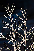 Frost on bare branches, Kolob Canyons, Zion National Park, Utah