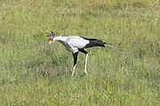 Kenya, Samburu National Reserve, Kenya, Secretary Bird, Sagittarius serpentarius