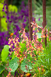 Linaria maroccana 'Licilia Peach' and 'Violet' (Annual toadflax, Moroccan toadflax) in the cutting garden with the foliage of Tropaeolum majus 'Cherry Rose' (Nasturtium).