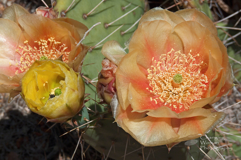 Prickly pear cactus blooms unfold from yellow buds to produce pale peach petals with orange-apricot stripes. A busy bee's head pokes up from the opening yellow flower from which he harvests pollen. The opuntia variety shown here is a unique subspecies of prickly pear cactus with a native habitat limited to the Mojave desert surrounding Searchlight, Nevada (USA).