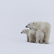A very skinny polar bear (Ursus maritimus) mother and her cubs near Cape Churchill, Manitoba, Canada.
