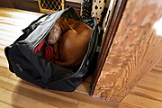 SHOT 12/31/04 12:47:27 AM - Tanner as a puppy curled up sleeping in my overnight bag hoping to not get left behind in Denver, Co. The Vizsla is a dog breed originating in Hungary, which belongs under the FCI group 7. The Hungarian or Magyar Vizsla are sporting dogs and loyal companions, in addition to being the smallest of the all-round pointer-retriever breeds. (Photo by Marc Piscotty / © 2004)