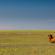 Lone camel stands in desert near Bayan Zag (, Mongolia - Sep. 2008) (Image ID: 080906-1755081a)