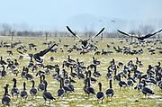 Nederland,  Persingen, Ooijpolder 16-2-2020 Een grote groep wilde ganzen fourageert,vreet gras, in een weiland dicht bij de rivier de Waal . Foto: ANP/ Hollandse Hoogte/ Flip Franssen