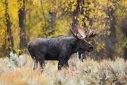 Trophy bull moose during autumn rut in Wyoming
