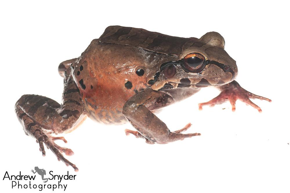 Knudsen's bullfrog, Leptodactylus knudseni, Surama, Guyana, July 2013