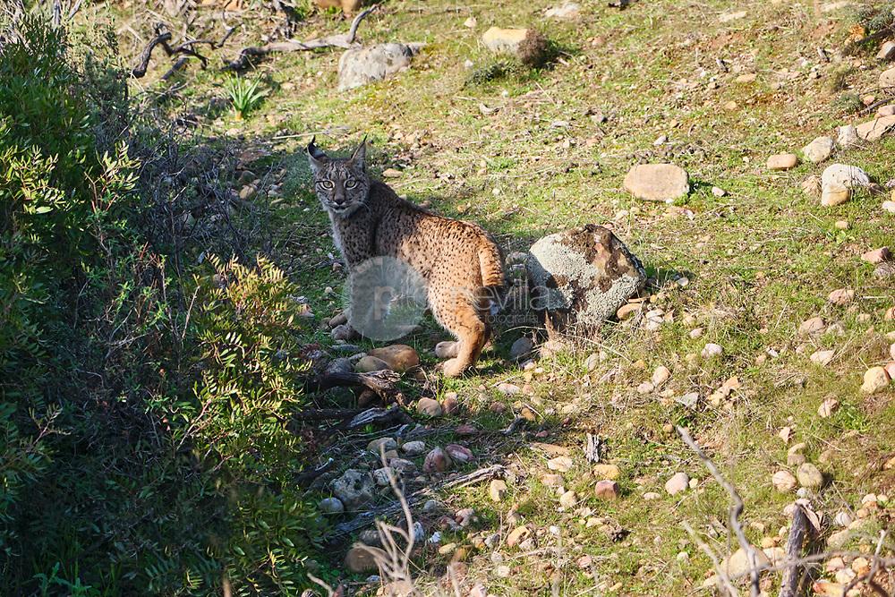 Lince Ibérico. Lynx Pardina