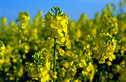 AF5CP6 Oil seed rape yellow flowers against blue sky