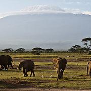 African Elephant, (Loxodonta africana) and Mount Kilamanjaro, Amboseli National Park. Kenya. Africa.