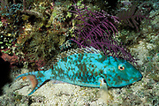 redtail parrotfish, supermale<br /> Sparisoma chrysopterum, asleep at night<br /> Bahamas ( Atlantic )