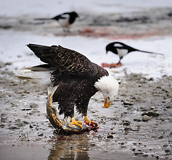 A bald eagle (Haliaeetus leucocephalus) feeds on a still alive, flopping chum salmon (Oncorhynchus keta) on the bank of the Chilkat River in the Alaska Chilkat Bald Eagle Preserve near Haines, Alaska. Note the white talons of the eagle which are caused by a leucistic condition -- a condition of reduced pigmentation. Unlike albinism, the eye color is normal. The birds feeding on salmon scraps are black-billed magpies. During late fall, bald eagles congregate along the Chilkat River to feed on salmon. This gathering of bald eagles in the Alaska Chilkat Bald Eagle Preserve is believed to be one of the largest gatherings of bald eagles in the world.