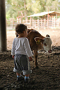 Two year baby boy with a calf on a dairy farm