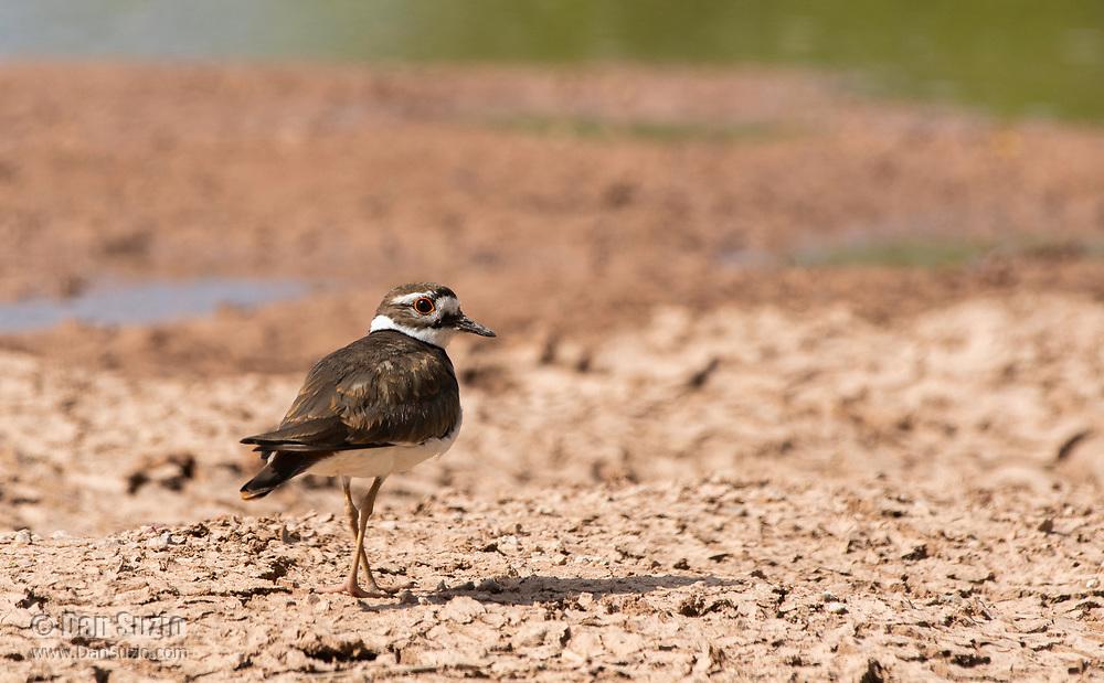 A Killdeer, Charadrius vociferus, walks on the shore of a lake in the Riparian Preserve at Water Ranch, Gilbert, Arizona