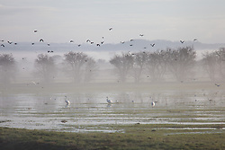 © Licensed to London News Pictures. 18/01/2015. Glastonbury, Somerset, UK. A flock of lapwings flying over three swans on the Somerset levels near Glastonbury this morning, 18th January 2015. Photo credit : Rob Arnold/LNP
