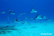 schooling spotted eagle rays, Aetobatus narinari, are accompanied by whitemargin unicornfish and forktail rabbitfish, which feed on their droppings at Eagle Ray City, Saipan, Commonwealth of Northern Mariana Islands, Micronesia ( Western Pacific Ocean )