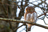 A wild Northern Pygmy-Owl (Glaucidium gnoma) stares down from a branch in Mission, British Columbia