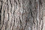 Bark of a mature White Pine (Pinus strobus).