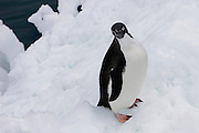 Adelie Penguin, looking right at the camera! There are 38 colonies of Adelie penguins, and there are over 5 million Adelies in the Ross Sea Region.....
