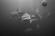 The blacktip shark-Requin bordé (Carcharhinus limbatus), South Africa.