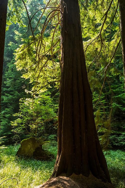 An old Cedar tree along the trail to Twin Lakes, Moran State Park, Orcas Island, Washington, USA.