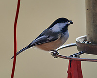 Black-capped Chickadee (Poecile atricapillus). Image taken with a Nikon D5 camera and 600 mm f/4 VR lens.