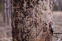 16.03.2016 Puszcza Bialowieska woj podlaskie Gradacja kornika drukarza ( Ips typographus ) - groznego szkodnika drzewostanow , glownie swierkowych , osiagnela w Puszczy Bialowieskiej niespotykane rozmiary . Zdaniem lesnikow jedyna metoda jest wycinka i wywoz zarazonych drzew z lasu . Przeciwnego zdania sa organizacje ekologiczne i spoleczne . Decyzja ministra srodowiska w tej sprawie spodziewana jest w najblizszym czasie n/z zaatakowane przez kornika drukarza swierki sa scinane m.in ze wzledow bezpieczenstwa - zagrazaja upadkiem fot Michal Kosc / AGENCJA WSCHOD