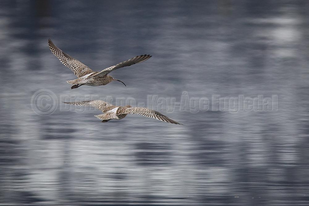 Storspover i flukt   Escaping Eurasian Curlews