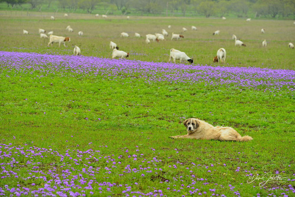 Grazing herd of goats, watchdog and prairie verbena, Gillespie County, near Willow City, Texas, USA