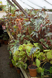 Begonias overwintering on benches in the wooden greenhouse at Great Dixter