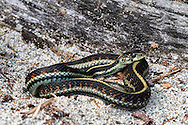 Common Garter Snake (Thamnophis sirtalis) on the shore of Hicks Lake in Sasquatch Provincial Park, British Columbia, Canada