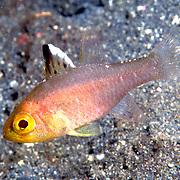 Frostfin Cardinalfish inhabit reefs. Picture taken Lembeh Straits, Sulawesi, Indonesia.
