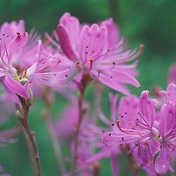 Columbia, NH.  Rhodora, Rhododendron canadense.  Cranberry Bog Pond. The Nature Conservancy's Bunnell tract.  Northern Forest.
