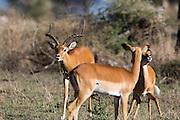 Impala in African habitat